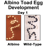 Albino Toad Egg Development