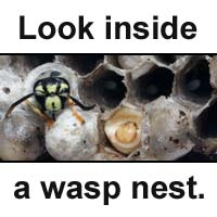 Inside a wasp nest.