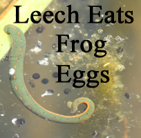 Leech eats frog eggs