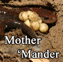 Redback Salamander Mother with Eggs