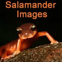 Salamander Image Gallery