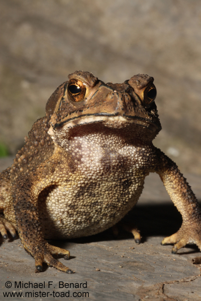 Black Spectacled Toad