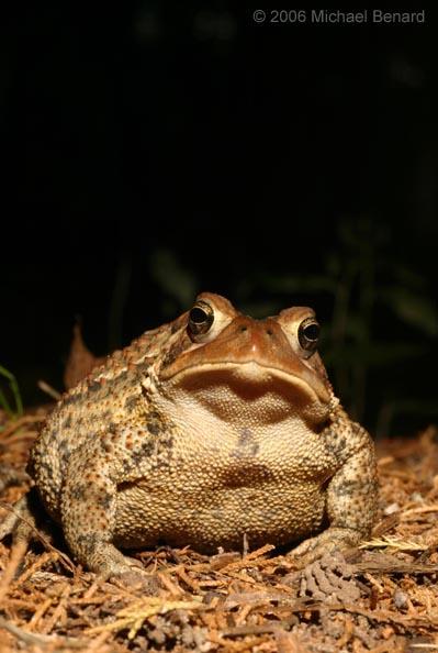 Portrait of a big american toad
