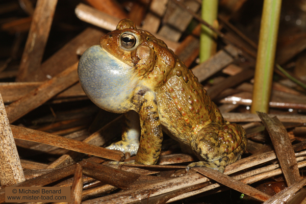American Toad with Vocal Sac Inflated as he sings