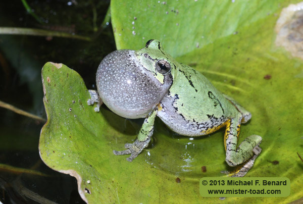 Male Gray Treefrog
