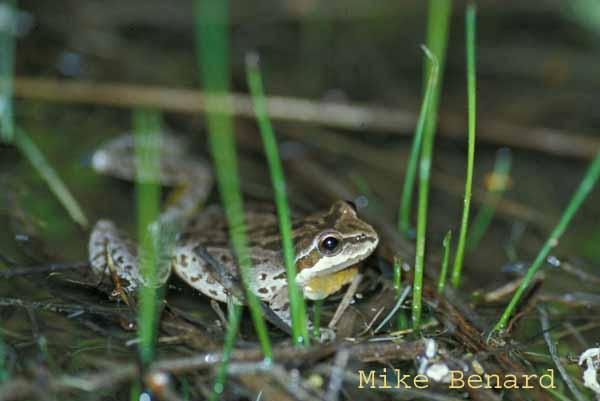 breeding male pacific chorus frog