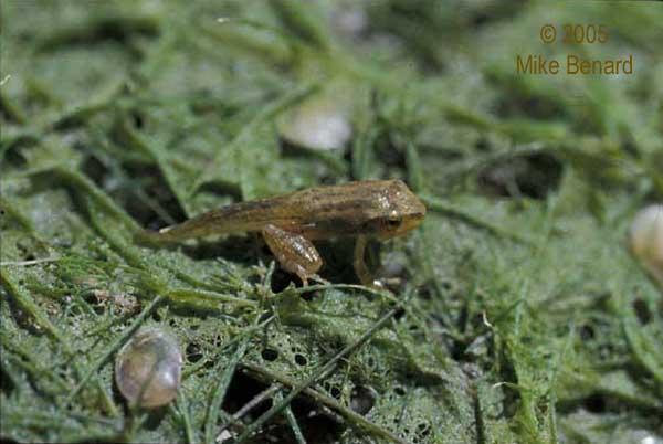 metamorphosing pacific chorus frog
