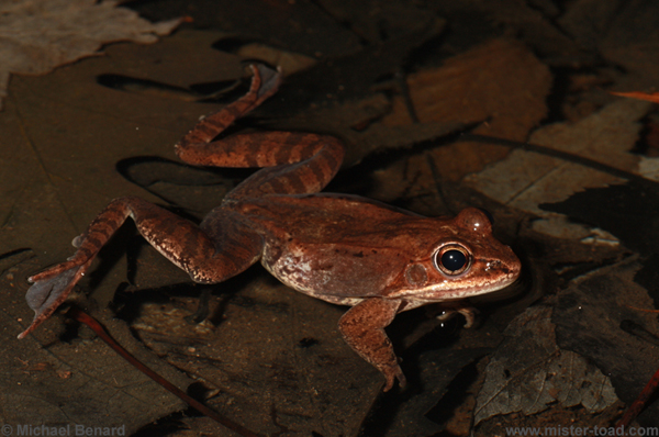 male wood frog waiting in the water