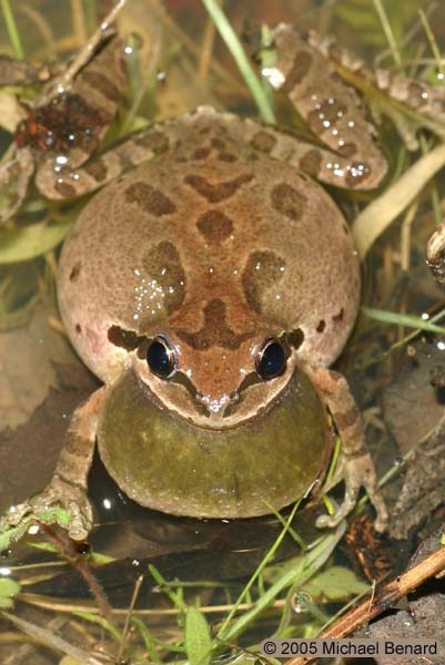 Calling Pacific Chorus Frog