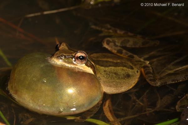 Pacific Chorus Frog, Pseudacris regilla, singing