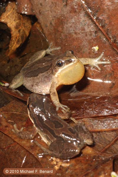 calling male Western Chorus Frog, Pseudacris triseriata