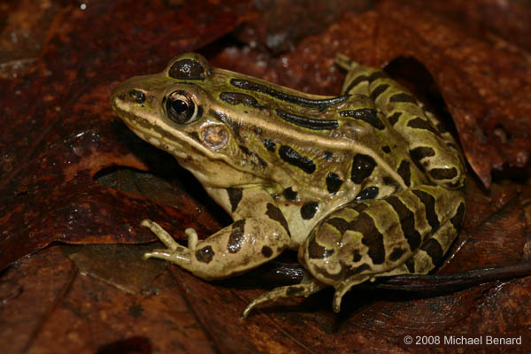 Adult Leopard Frog side view