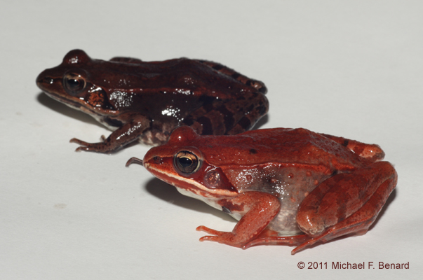 Red and Brown Wood Frogs