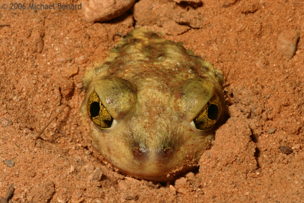 Couch's spadefoot toad buried in sand