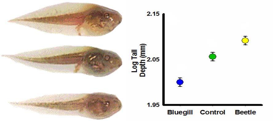 tadpole phenotypic plasticity