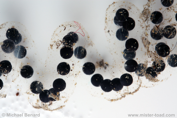 Toad eggs shortly after being laid.