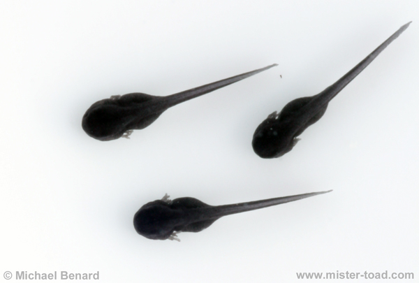 Toad tadpoles just after hatching with external gills.
