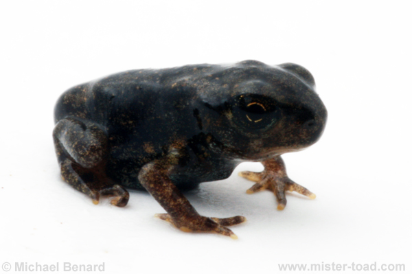 American toad after metamorphosis