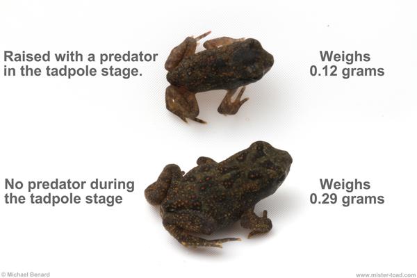 nonlethal predator effects on toad metamorphosis