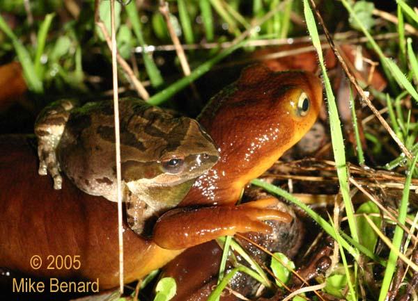 frog amplex newt