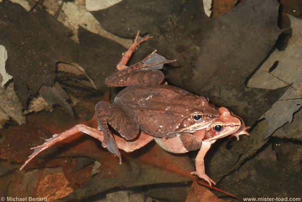 a side view of male wood frog in amplexus with female wood frog