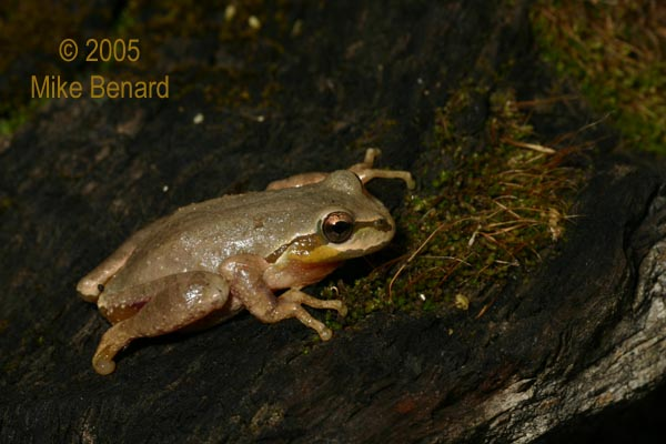 wounded adult Pacific Chorus Frog