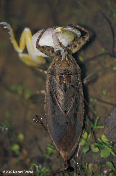 Giant Water Bug eating treefrog