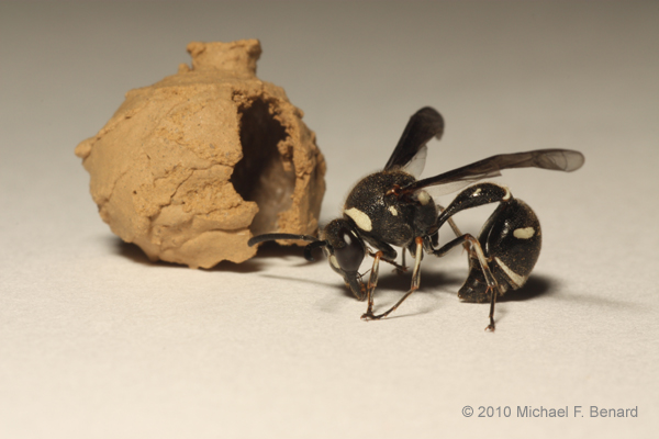 Potter Wasp emerged from mud ball