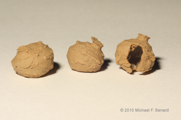 Potter wasp mud balls