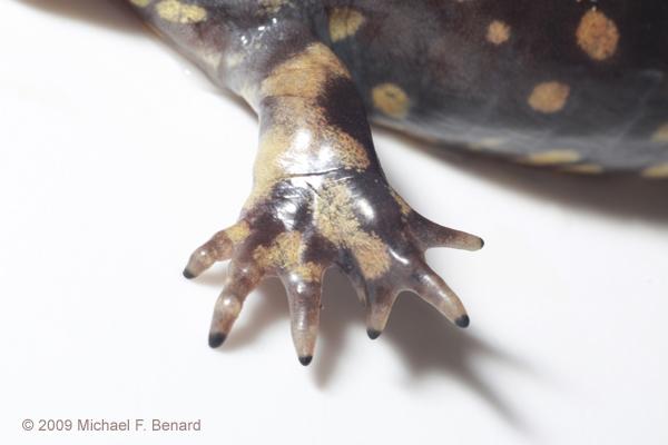 adult tiger salamander, Ambystoma tigrinum