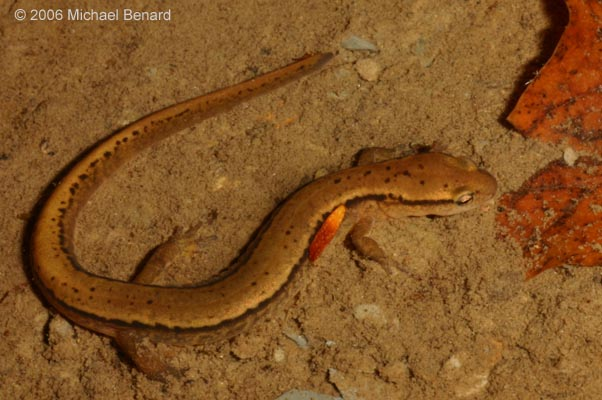 Adult Two-Lined Salamander