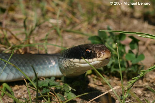 Blue Racer Coluber Constrictor Foxii