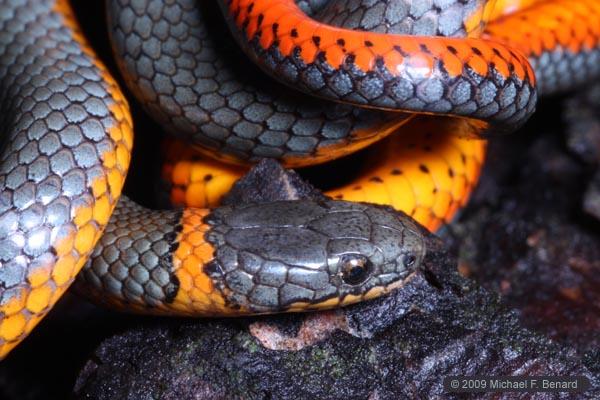 Pacific Ringneck Snake Portrait