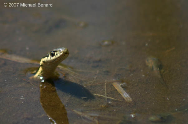 garter snake hunting chorus frog tadpoles