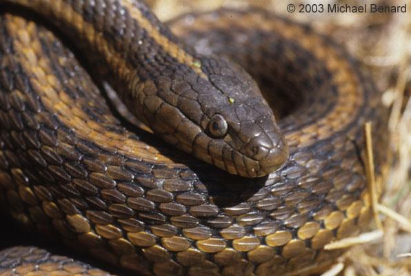 Giant garter snake, Thamnophis gigas